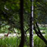 Deer hiding in the forest of Djurgården